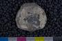 IMLS Silurian Reef Digitization Project, Image of a Silurian brachiopod UC 25846