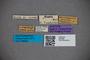 2819868 Stenus alutipennis Bernhauer 1929 ST labels IN