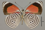 124661 Diaethria euclides phlogea v IN