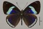 124664 Diaethria eluina lidwina d IN