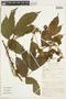 Paullinia acutangula Pers., PERU, F