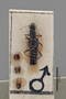 3047604 Stenus angulipennis ST d IN