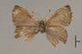 124669 Ahlbergia unicolora PT d IN