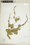 Paullinia elegans Cambess., PARAGUAY, F