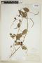 Paullinia elegans subsp. neglecta (Radlk.) D. R. Simpson, BOLIVIA, F