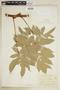 Paullinia hispida Willd., COLOMBIA, F