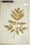 Paullinia hispida Willd., PERU, F