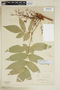 Paullinia hispida Willd., VENEZUELA, F