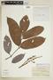 Paullinia ingaefolia Rich., PERU, F