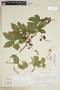 Paullinia elegans subsp. elegans, ARGENTINA, F