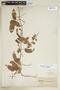 Paullinia elegans subsp. elegans, PARAGUAY, F