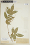 Paullinia elegans subsp. elegans, BRAZIL, F