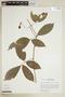 Paullinia elegans subsp. elegans, PERU, F