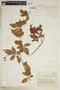 Paullinia fuscescens Kunth, COLOMBIA, F