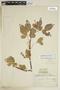 Paullinia fuscescens Kunth, PERU, F