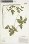 Paullinia serjaniaefolia Triana & Planch., ECUADOR, F