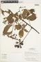 Paullinia spicata Benth., BRAZIL, F