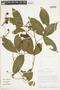 Paullinia spicata Benth., PERU, F