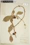 Paullinia macrophylla Cambess., BRAZIL, F