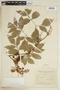 Paullinia meliaefolia A. Juss., ARGENTINA, F