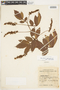 Paullinia pinnata L., BRITISH GUIANA [Guyana], F