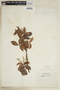 Paullinia racemosa Wawra, BRAZIL, F