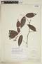 Paullinia reticulata Radlk., PERU, F