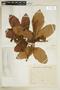 Paullinia rubiginosa Cambess., BRAZIL, F