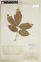 Paullinia rufescens Rich. ex Juss., BRITISH GUIANA [Guyana], F