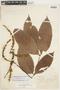 Paullinia rugosa Benth., BRAZIL, F