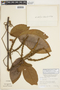 Paullinia rugosa Benth., PERU, F