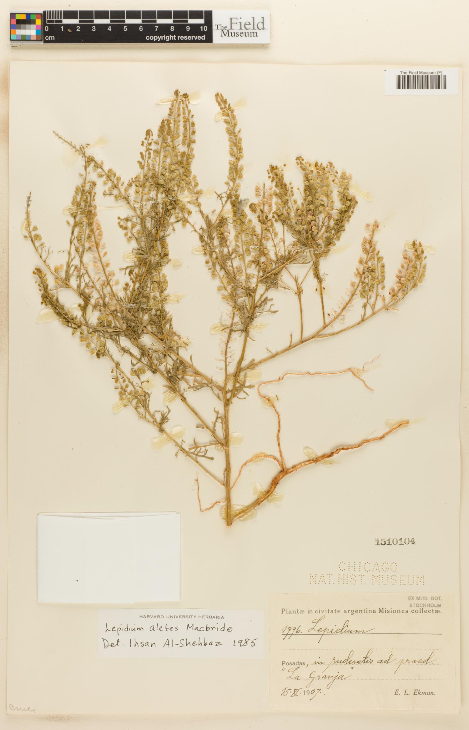 Lepidium aletes image