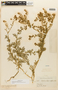 Lepidium bipinnatifidum image