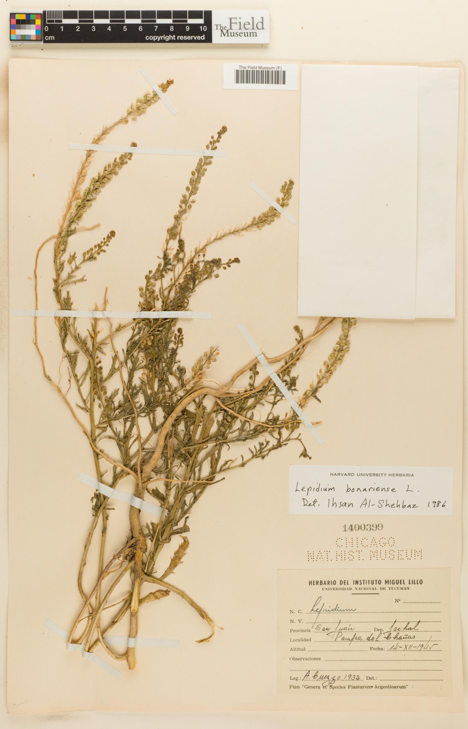 Lepidium bonariense image