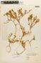 Lepidium spicatum image