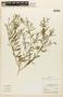 Lepidium virginicum L., BRAZIL, F