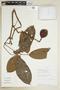 Paullinia brentberlinii Croat, PERU, F