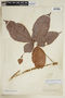 Paullinia capreolata Radlk., PERU, F