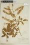 Paullinia carpopodea, BRAZIL, F