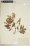 Paullinia pachycarpa Benth., BRAZIL, F