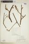 Paullinia pachycarpa Benth., SURINAME, F