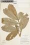 Paullinia pachycarpa Benth., PERU, F