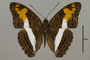 124713 Adelpha capucinus capucinus d IN