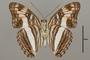 124713 Adelpha capucinus capucinus v IN