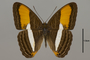124717 Adelpha cytherea d IN