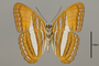 124717 Adelpha cytherea v IN