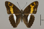 124721 Adelpha sp d IN