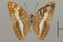 124721 Adelpha sp v IN