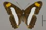 124732 Adelpha iphiclus ephesa d IN