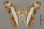 124732 Adelpha iphiclus ephesa v IN